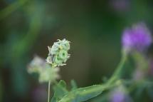 alfalfa_0025