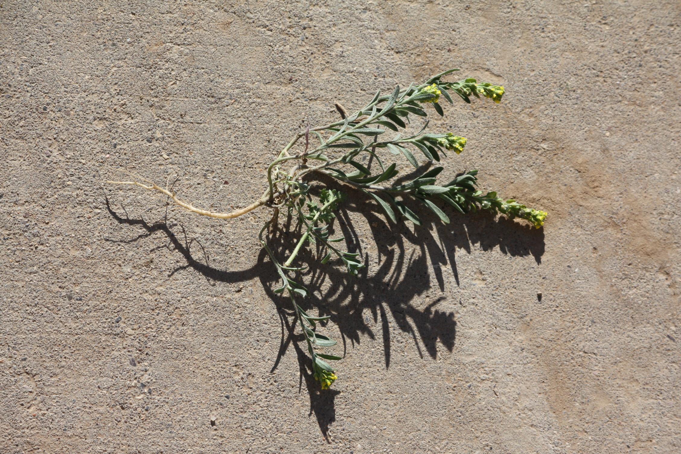 alyssum-desertorum_9296