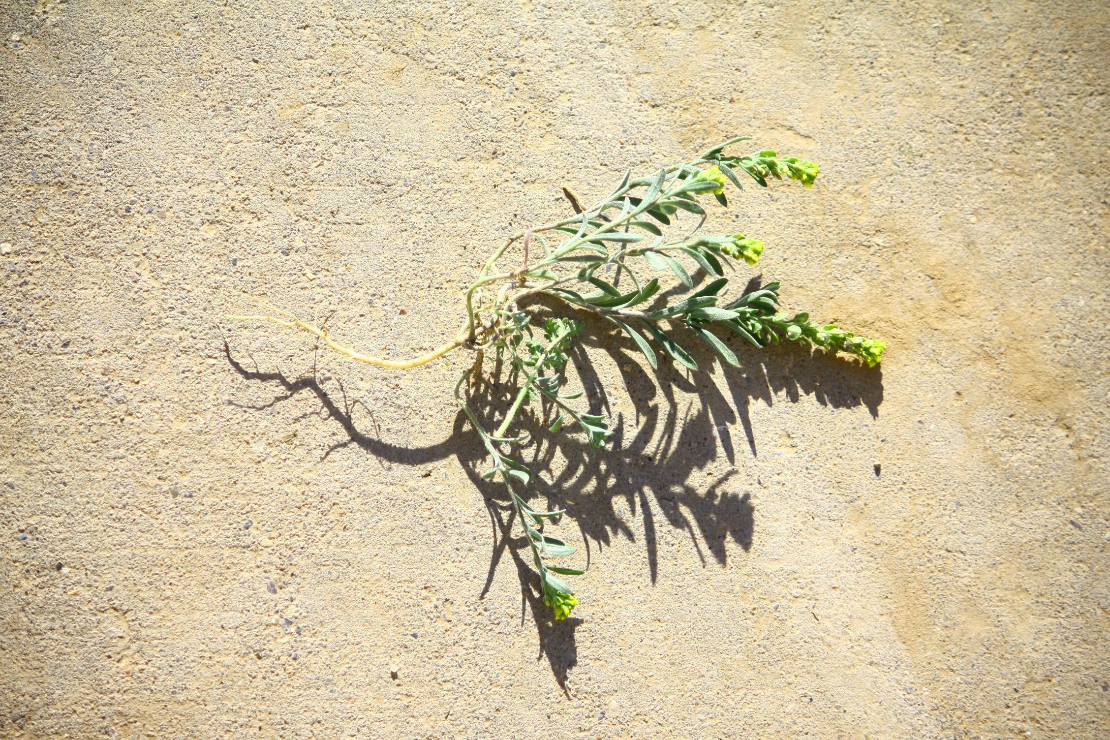 alyssum-desertorum_9298