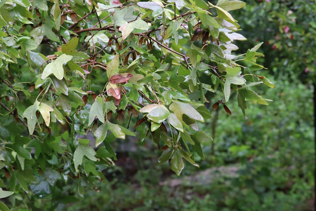 Bigtooth Maple, Acer grandidentatum