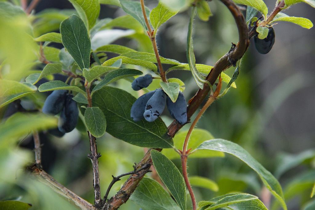 Honeyberry, Lonicera caerulea