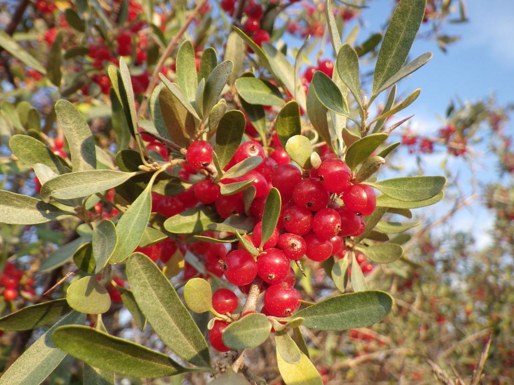 Buffaloberry, Shepherdia argentea