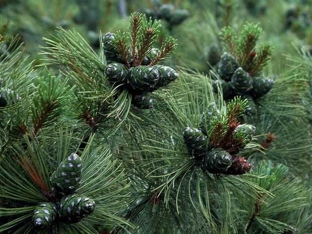 Siberian Dwarf Pine (AKA Japanese Stone Pine), Pinus pumila